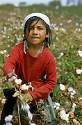 Child work: Girl picking cotton in valley of Chira River in northern Peru.