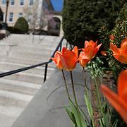 04/26/2013- Medford/Somerville, Mass. - Flowers bloom along the Memorial Steps on April 26, 2013. (Kelvin Ma/Tufts University)
