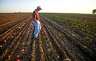 A young commercial rose farmer inspecting newly grafted plants as they produce the first blooms.