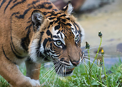 ZSL London Zoo, London, December 15th 2016. Christmas comes ten days early for the Sumatran tiger cubs at at ZSL London Zoo. Mother Melati and her two cubs Achilles and Karis wake up to Christmas presents in their enclosure and the two unruly six-month-old cubs set about opening them. PICTURED: Melati
