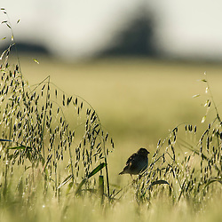 A female yellow bishop perches in the middle of a field of oats, Overberg, Western Cape, South Africa