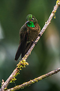 Tyrian metaltail (Metallura tyrianthina)<br /> Yanacocha Nature Reserve<br /> on slopes of Pichincha Volcano<br /> Andes<br /> ECUADOR, South America<br /> Range: Subtropical or tropical moist montane forests of Colombia, Ecuador, Peru, Bolivia &amp; Venequela