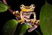Imbabura Treefrog (Hypsiboas picturatus) CAPTIVE<br /> Choc&oacute; Region of NW ECUADOR. South America