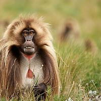 Male Gelada baboon, Theropithecus gelada, bearing his teeth on the Guassa Plateau of the Ethiopian Highlands