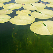 A large cluster of fragrant water lily pads (Nymphaea odorata) float on wetlands of the Washington Park Arboretum in Seattle, Washington. The perennial plant grows in clear and calm water that is up to 8 feet (2.5 meters) deep.
