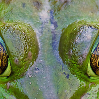 An extreme close-up of the eyes of an American bullfrog (Rana catesbeiana)sitting in a freshwater marsh, Huntley Meadows Park, Alexandria, Virginia.