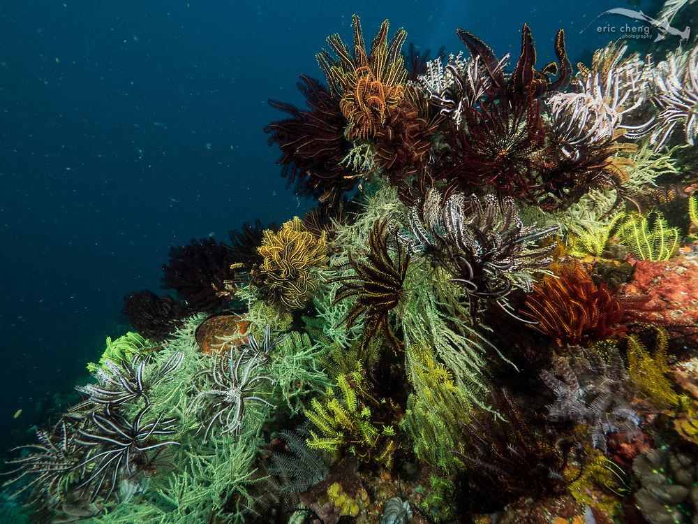 Many crinoid feather stars cover a black coral. Baleh, Komodo National Park, Indonesia.