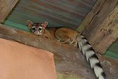 Ringtail Cat Stock Photos