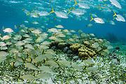 Bluestriped Grunt (Haemulon sciurus) &amp; Horse-eye Jack (Caranx latus)<br /> Hol Chan Marine Reserve<br /> near Ambergris Caye and Caye Caulker<br /> Belize<br /> Central America