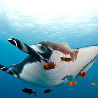&quot;Manta&quot; - Giant mantas come to Socorro Island in Mexico to feed and are cleaned by clarion angelfish. A remora attached to the manta is a frequent hitchhiker. Mantas are now under siege and being slaughtered in great numbers for the Chinese medicinal market. <br /> <br /> Signed, framed print is 30 x 42&quot;.  Black frame is 1 1/4&quot; wide.