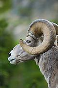 Bighorn Sheep at Logan Pass, Glacier National Park, Montana..