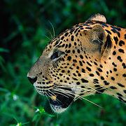 Alert Male leopard at Wilpattu National Park.