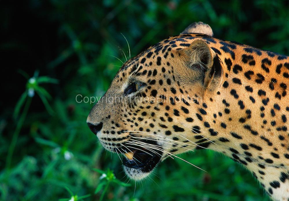 Alert Male leopard at Wilpattu National Park.