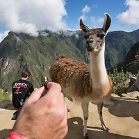 Peru, Hikers gather around Llama wandering amid Inca ruins at Machu Picchu in Andes mountains