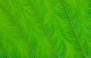 Taro leaf detail; Hana Coast, Maui, Hawaii.
