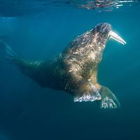 Norway, Svalbard, Tiholmane Islands, Underwater view of Walrus (Odobenus rosmarus) swimming on summer morning