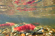 Four sockeye salmon (Oncorhynchus nerka), showing their red breeding coloration, swim up the Cedar River in Renton, Washington toward their spawning grounds. Sockeye salmon are blue-tinged and silver when they live in the ocean; their bodies turn red and their heads green when they return to freshwater rivers to spawn.