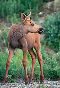 Alaska. Yanert Valley, near Denali National Park Baby Moose (Alces alces) calf.