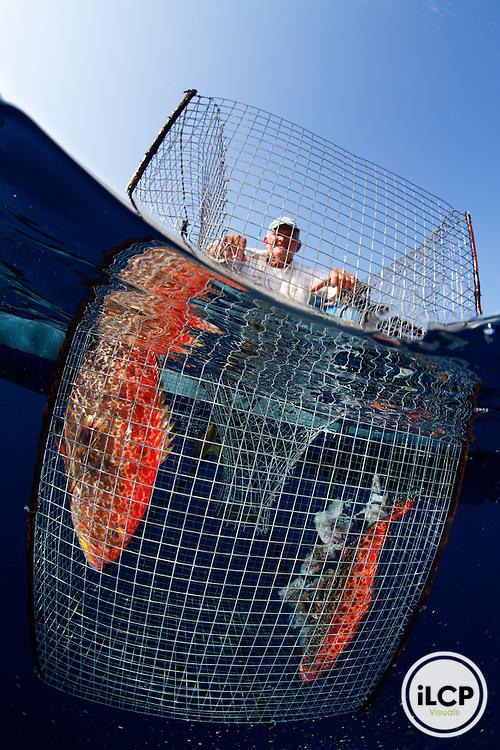 Fisherman showing how trap fishing for grouper is done, Yellowfin or Fireback Grouper (Mycteroperca venenosa), IUCN redlist Near Threatened, near Blackhills, Utila Island, Bay Islands, Honduras, April