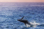A dusky dolphin (Lagenorhynchus obscurus) leaps out of the ocean near the coast of Kaikoura, a coastal town in New Zealand's Canterbury region. Dusky dolphins can be as long as 1.9m (6.5ft) A dark diagonal band on their sides and a bluish tail distinguish them from other dolphins. They are just as playful as other dolphins and can be seen swimming and leaping out of the ocean of Southern Australia, Tasmania, and South Africa.