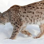The eurasian lynx (Lynx lynx) - Gaupe
