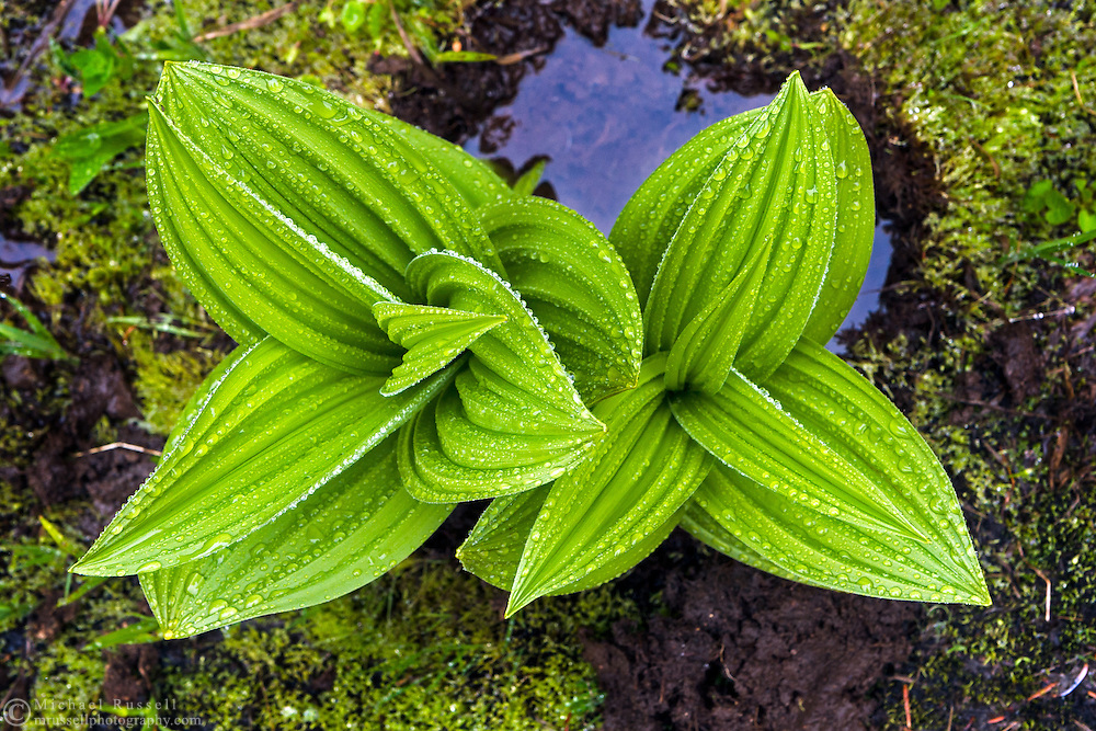 Corn Lily or False Hellebore (Veratrum viride) covered in water drops  in Mount Rainier National Park, Washington State, USA
