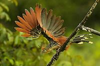 Hoatzin (Opisthocomus hoazin) above Anangu creek in Yasuni National Park, Orellana Province, Ecuador