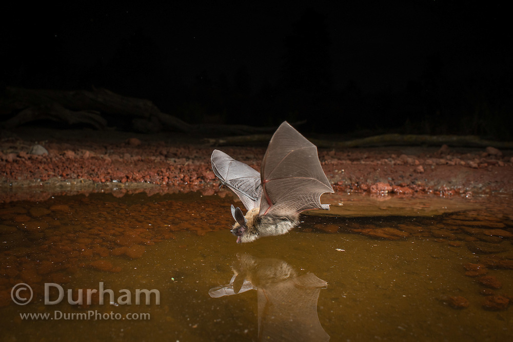 A western long-eared bat (Myotis evotis) come to drink at a desert watering hole in the high desert of Oregon.