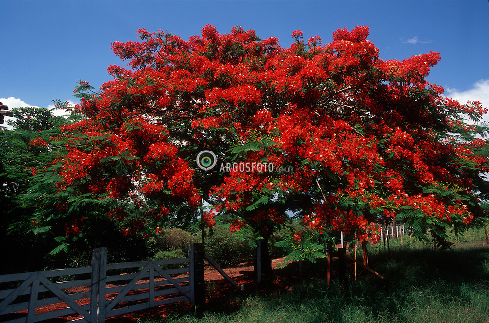 Crissiumal, RS, Brasil     2002.Conhecida como Flamboyant no Brasil e Acacia-rubra em Angola e Mocambique, a Delonix regia eh uma arvore da familia das leguminosas (Fabaceae). Nativa de Madagascar, no continente africano/ e Royal Poinciana, Delonix regia (family Fabaceae), is a tropical or subtropical flowering plant. It is also known by the names Gulmohar, Flamboyant Tree, Peacock Flower, Flame of the Forest, and Flame Tree..foto: Adri Felden / Argosfoto