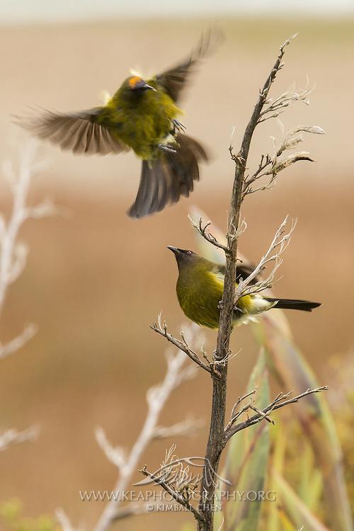 Bellbirds on a dried flax, Southland, New Zealand