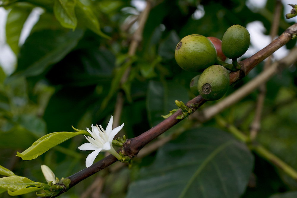 Africa, Kenya, Ruira, Detail of white blossom and ripening beans on Arabica coffee plant during harvest at Oakland Estates plantation