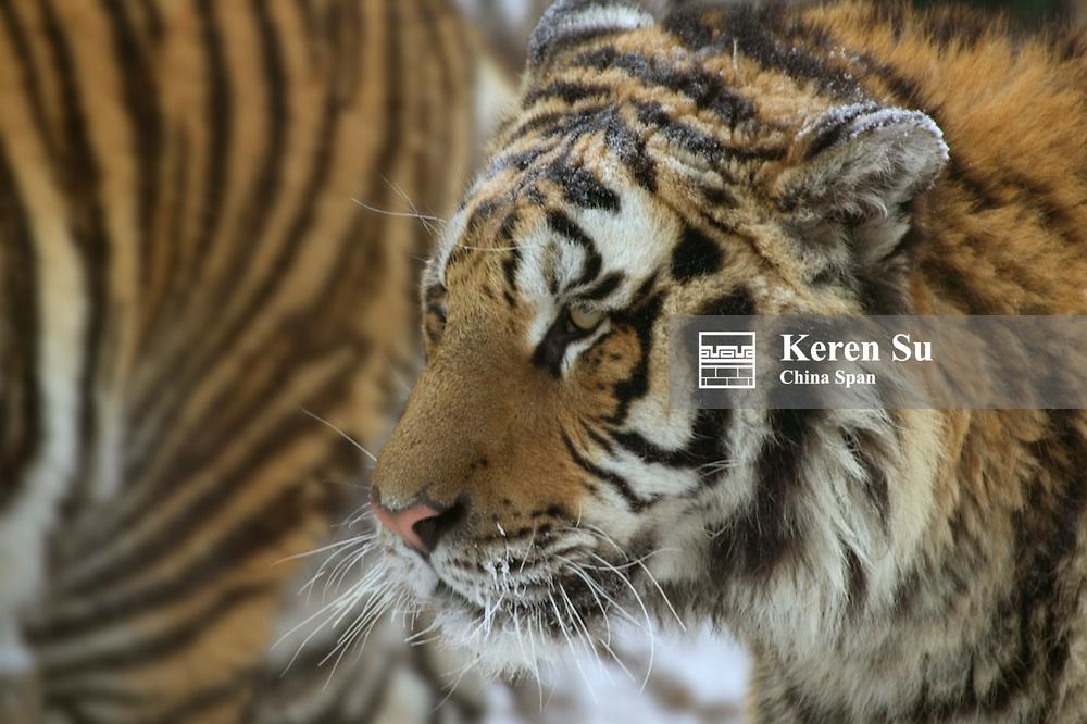 Siberian Tiger, North China