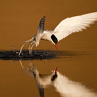 Norway, Svalbard, Longyearbyen, Arctic Tern (Sterna paradisaea) diving into pond while fishing for prey on summer evening