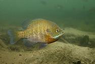 Bluegill <br /> <br /> Engbretson Underwater Photography