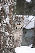 Bobcat, Lynx, etc