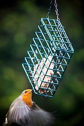 A robin feeding in the garden.