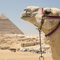 Egypt, Cairo, Midday sun lights tourists' camel resting in front of Great Pyramid of Giza in Sahara Desert