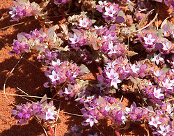 A pink groundcover growing in Pindan soil on the Cape Leveque Road in Western Australia's Kimberley.