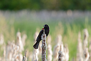 Male Red-winged Blackbird (Agelalus phoeniceus) in the Cattails at Elgin Heritage Park in Surrey, British Columbia, Canada