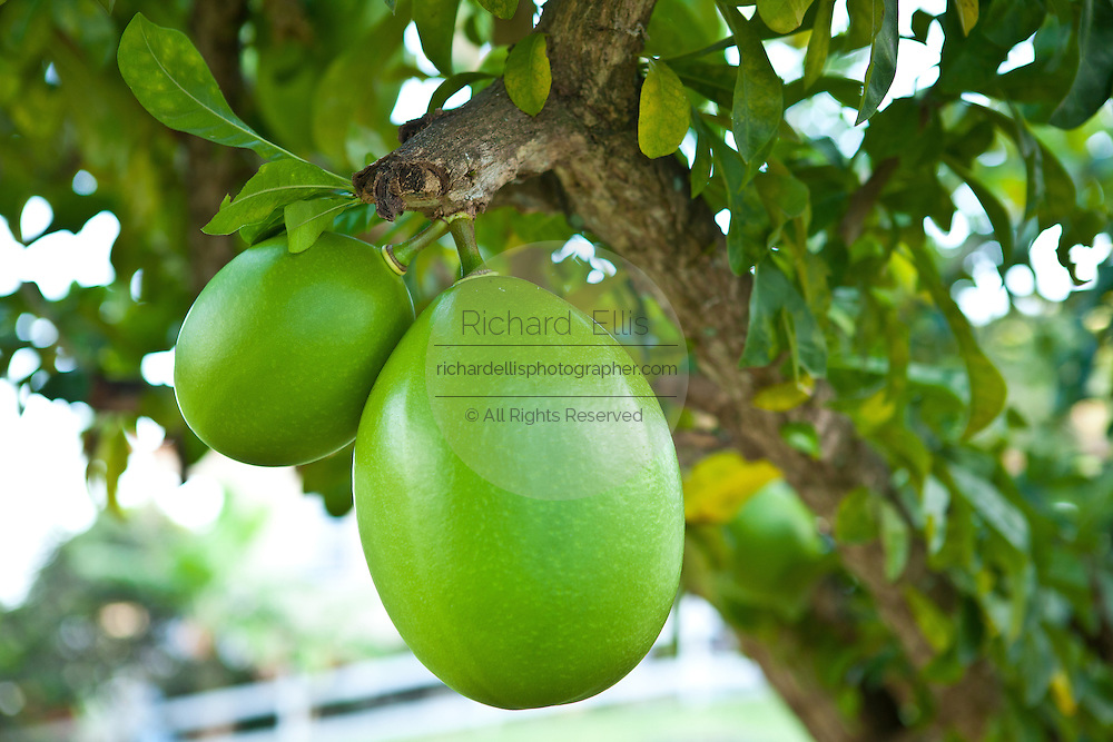 Calabash tree or gourd tree on Vieques Island, Puerto Rico.