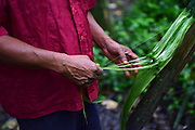 Catato López, Bribri man extracts thread from a plant for different purposes. A day with the Bribri, indigenous people in Limón Province of Costa Rica