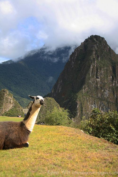 South America, Peru, Machu Picchu. Llama and Huayna Picchu.