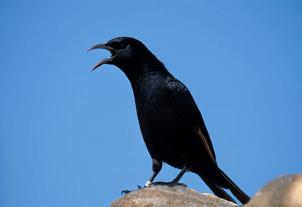 Male Tristram's grackle, calling, Israel.....A98-01-ONYTRI-001.JPG NIALL BENVIE MALE TRISTRAM'S GRACKLE, CALLING, ISRAEL PORTFOLIO GRACKLE ONYCOGNATHUS TRISTRAMII MIDDLE EAST JUDAEA EIN GEDI BIRD PASSERINE HORIZONTAL NOSIY AGITATED LOUD VOCIFEROUS DETERMINED FORCEFUL ASSERTIVE ABOVE PROTEST BLUE BLACK WILD ADULT ONE CALLING DESERT OASIS WADI DRY 2004 MARCH SPRING.. Add () this image to a lightbox. Close this window... .. ..