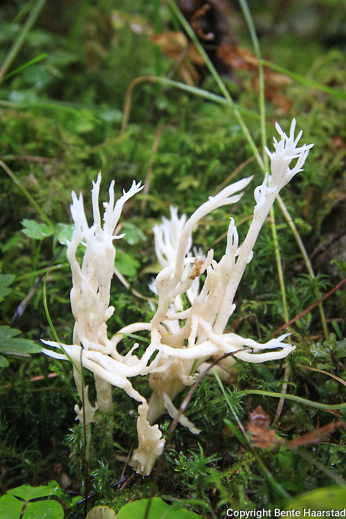 kamfinersopp,  Clavulina coralloides, børstesopp, eller hvit småfingersopp, Ramariopsis kunzei. an edible species of coral fungi in the Clavariaceae family, and the type species of the genus Ramariopsis. It is commonly known as white coral because of the branched structure of the fruit bodies that resemble marine coral. The fruit bodies are up to 5 cm  tall by 4 cm wide, with numerous branches originating from a short rudimentary stem. The branches are one to two millimeters thick, smooth, and white, sometimes with yellowish tips in age.