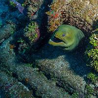 Green moray eel (Gymnothorax funebris) at El Águila wreck, West End, Roatan, Honduras.