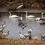 Hornborgasjön - Swans