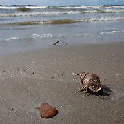 Grand Isle, Louisiana (USA). May 22nd, 2010. .A hermit crab covered in oil leaked from the Deepwater Horizon wellhead on the beach of Grand Isle. The BP leased oil platform exploded on April 20 and sank after burning. Photo © Daniel Beltra/Greenpeace