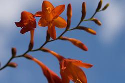 A vivid orange Crocosmia flower against blue sky.