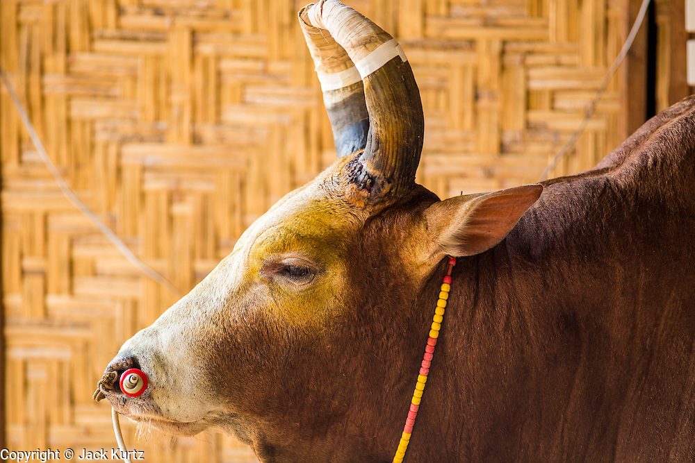 03 NOVEMBER 2012 - HAT YAI, SONGKHLA, THAILAND:  A Thai fighting bull waits to be brought into the arena at the bullfighting arena in Hat Yai, Songkhla, Thailand. Bullfighting is a popular past time in southern Thailand. Hat Yai is the center of Thailand's bullfighting culture. In Thai bullfights, two bulls are placed in an arena and they fight, usually by head butting each other until one runs away or time is called. Huge amounts of mony are wagered on Thai bullfights - sometimes as much as 2,000,000 Thai Baht ($65,000 US).      PHOTO BY JACK KURTZ