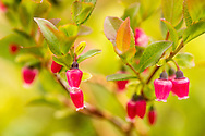 Closeup of flower of Dwarf Blueberry (Vaccinium caespitosum) at Archangel Valley in Southcentral Alaska. Summer. Afternoon.